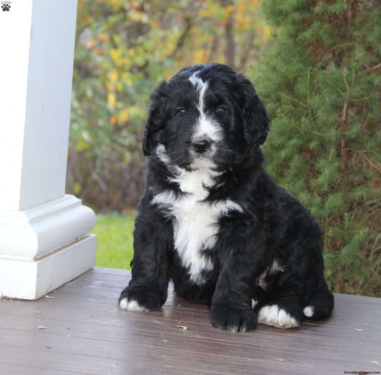 Bruce Bernedoodle Puppy For Sale In Pennsylvania