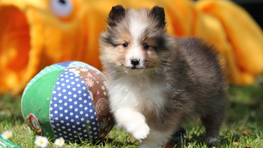 5 Things to Know About Shetland Sheepdog Puppies