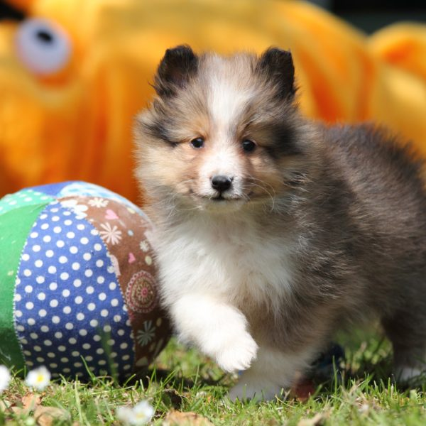 sheltie puppy in the grass next to a ball