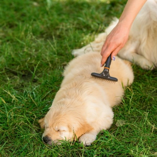 woman brushing sleeping golden retriever puppy