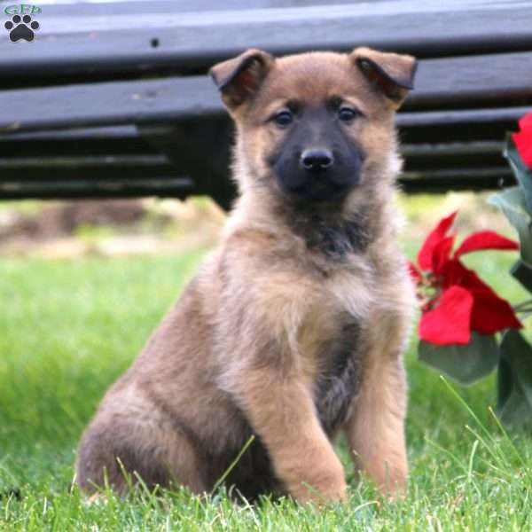 German Shepherd Mix Puppies For Sale - GSD Mix