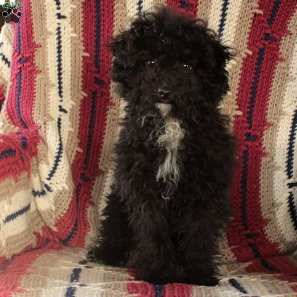 Amber Eve, Toy Poodle Puppy