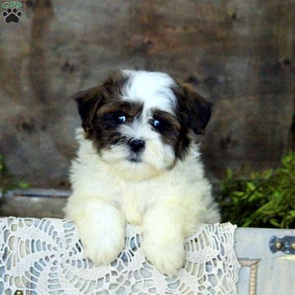 Bella Teddy Bear Puppy For Sale In Pennsylvania