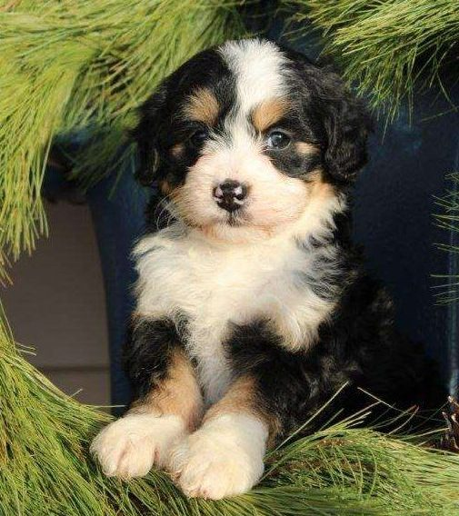 Mini Bernedoodle Puppies For Sale Greenfield Puppies