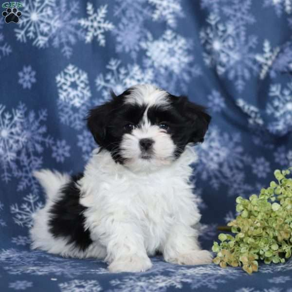 Mal Shi Puppies For Sale Mal Shi Dog Breed Profile Greenfield Puppies
