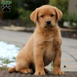 Fox Red Labrador Retriever Puppies For