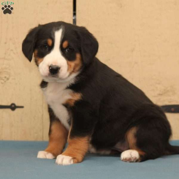 Daisy Greater Swiss Mountain Dog Puppy For Sale In