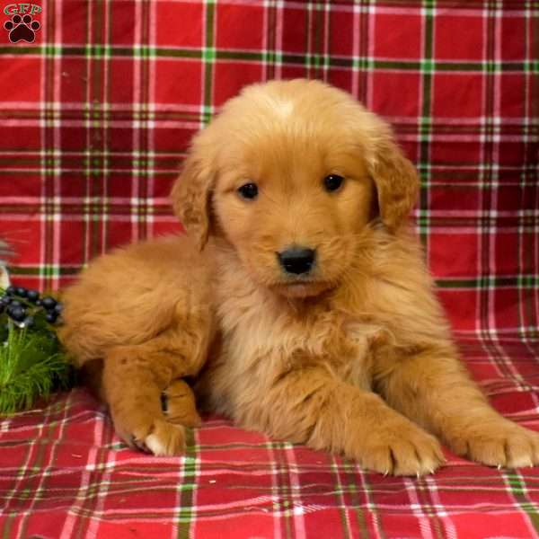 Golden Labrador Puppies For Sale Golden Labs Greenfield