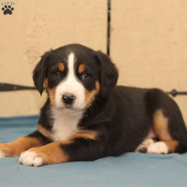 Dozer Greater Swiss Mountain Dog Puppy For Sale In