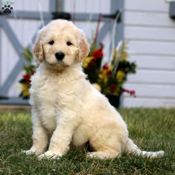Goldendoodle Puppies For Sale In Pa Greenfield Puppies