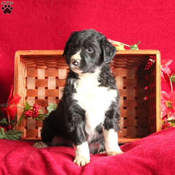 Evan, Border Collie Mix Puppy