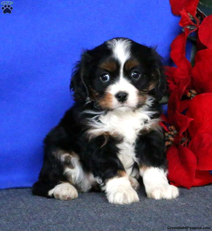 Miniature Bernese Mountain Dog Puppies