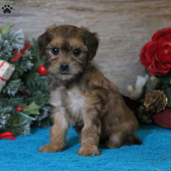 Felicia, Havanese Mix Puppy