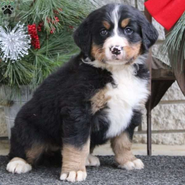 Fiona Bernese Mountain Dog Puppy For Sale In Pennsylvania