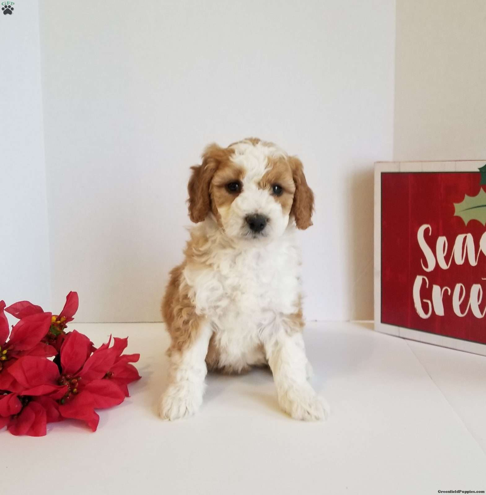 Holly Mini Golden Mountain Doodle Puppy For Sale In Virginia