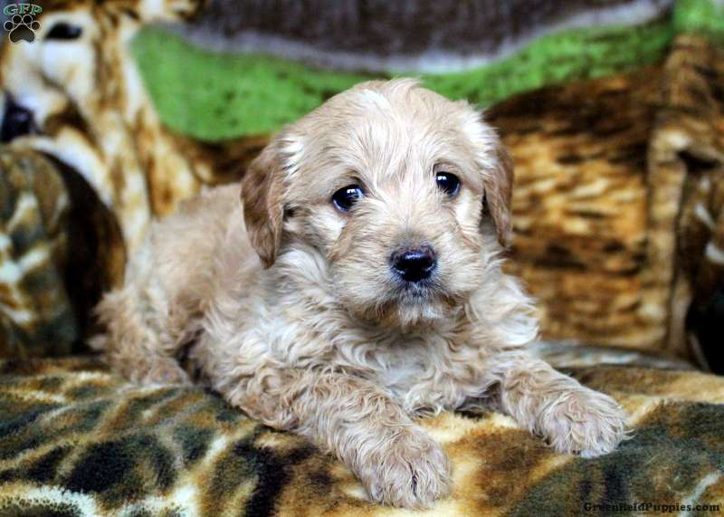 Hopscotch Mini Labradoodle Puppy For Sale In Pennsylvania