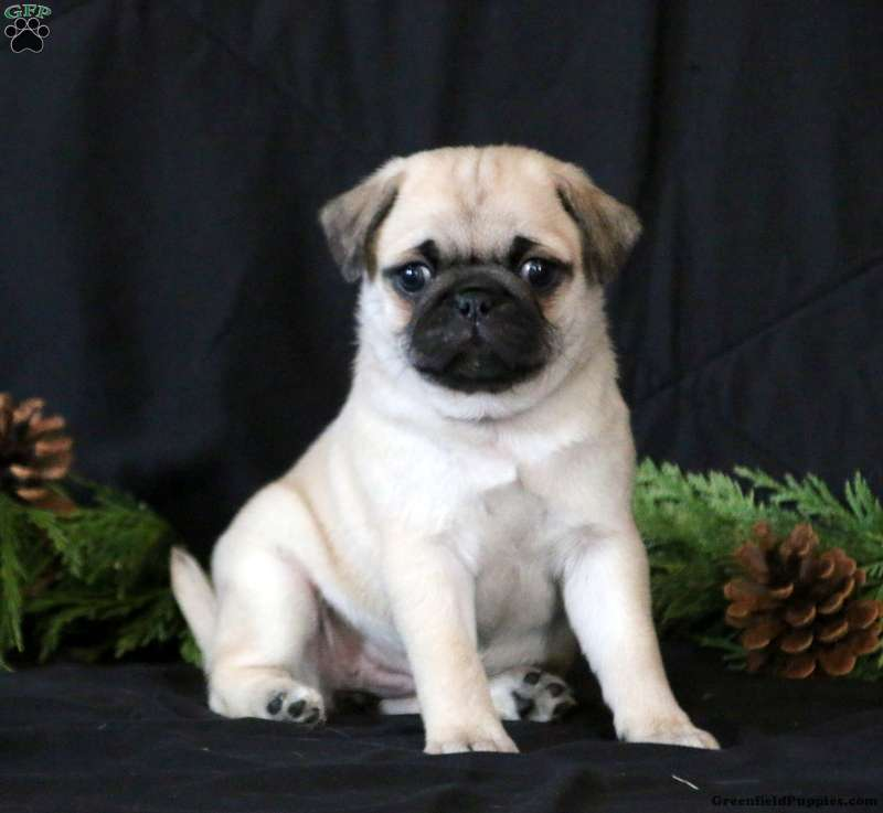 "NEW PUG Magnet Deluxe 3-1//2/"" HIGH DOG BREED Sale #3"