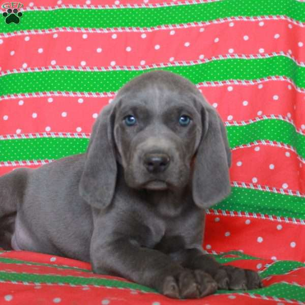 Legend, Weimaraner Puppy