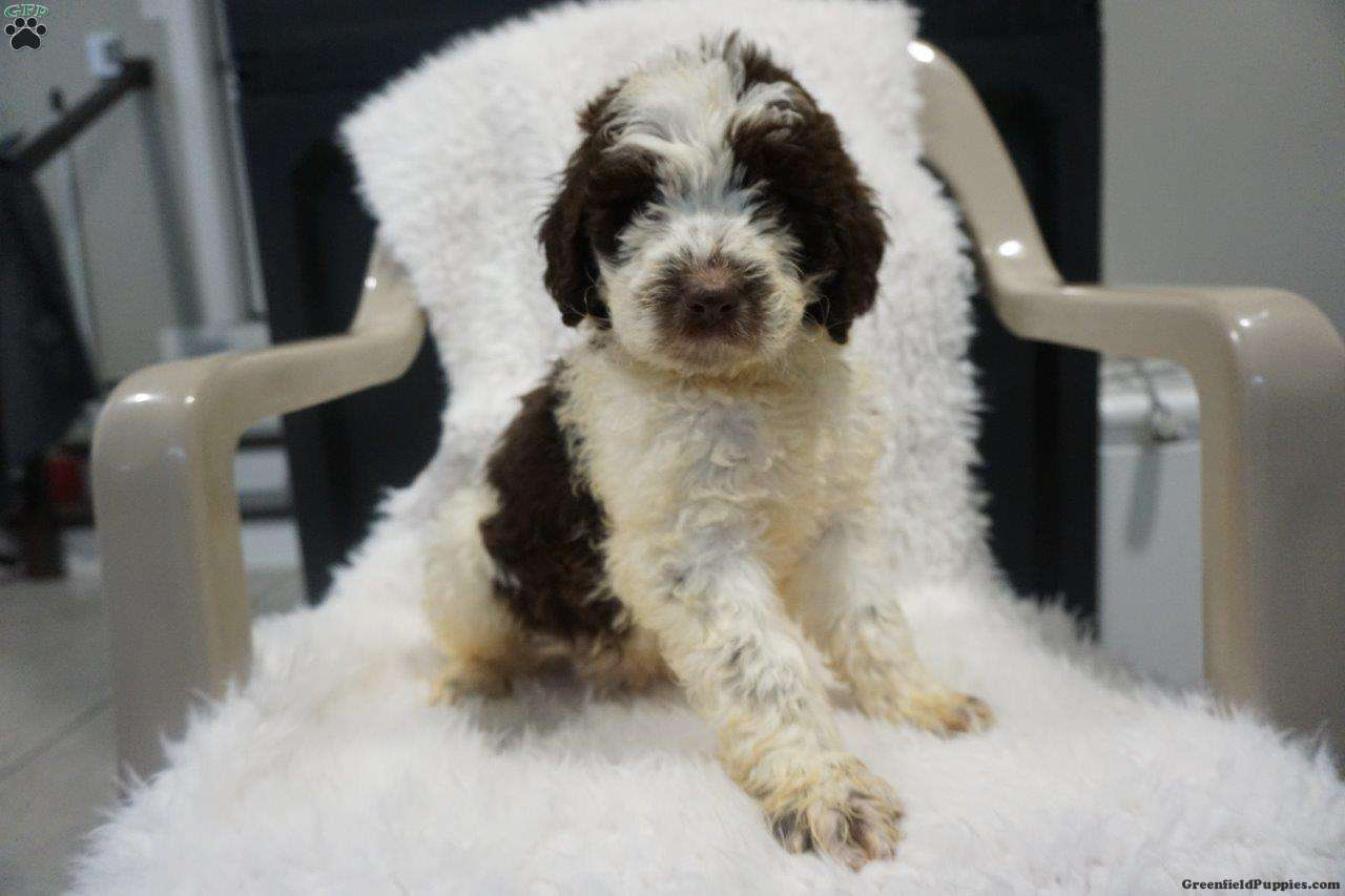 Leo Newfypoo Puppy For Sale In Ohio