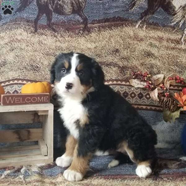 Lucy Miniature Bernese Mountain Dog Puppy For Sale In Ohio