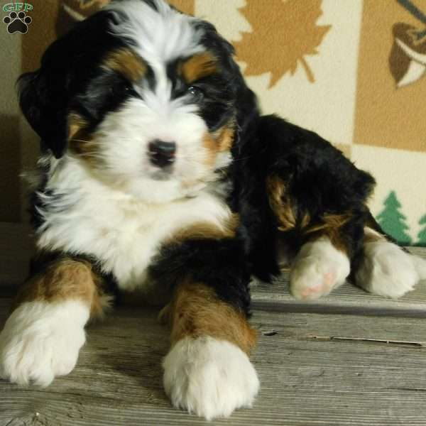 Marley Mini Bernedoodle Puppy For Sale In Ohio