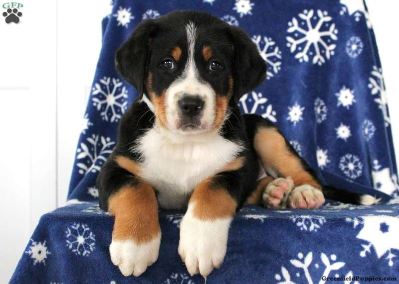 Saint Bernard Mix Puppies For Sale Greenfield Puppies