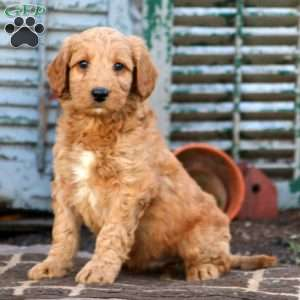 Current featured breed: Labradoodle-Miniature