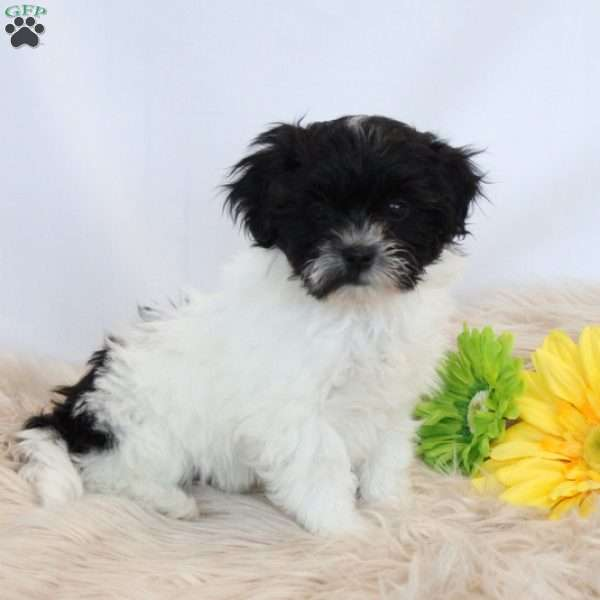 Renae Teddy Bear Puppy For Sale In Pennsylvania