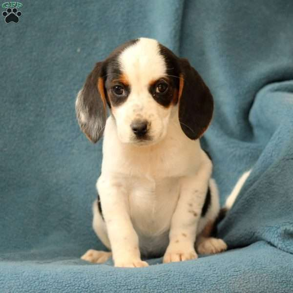 Rhonda, Beagle Puppy
