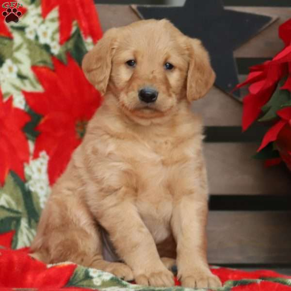 Labradoodle Puppies For Sale Labradoodles Greenfield