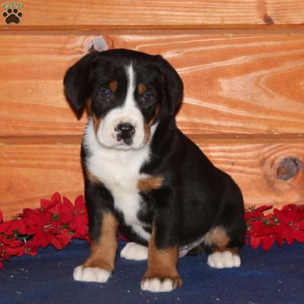 Shiloh Greater Swiss Mountain Dog Puppy For Sale In