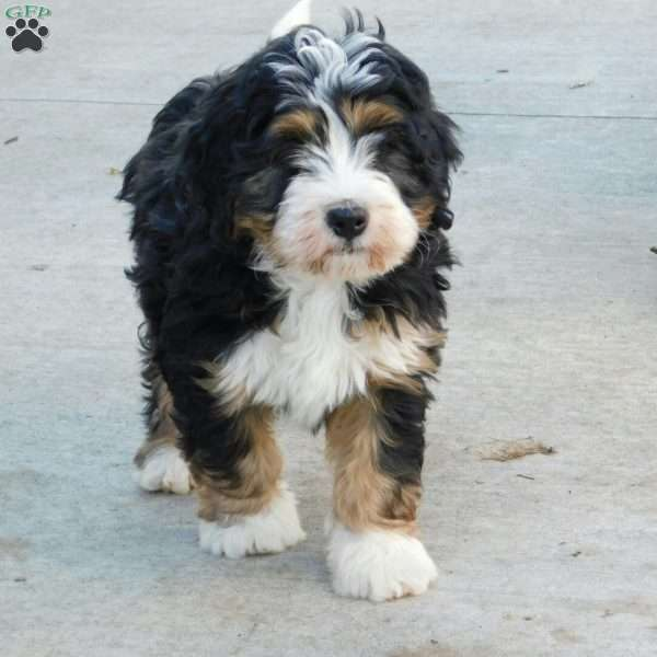 Skye Mini Bernedoodle Puppy For Sale In Ohio