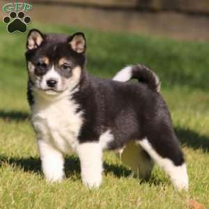 Shiba Inu Mix Puppies For Sale Greenfield Puppies
