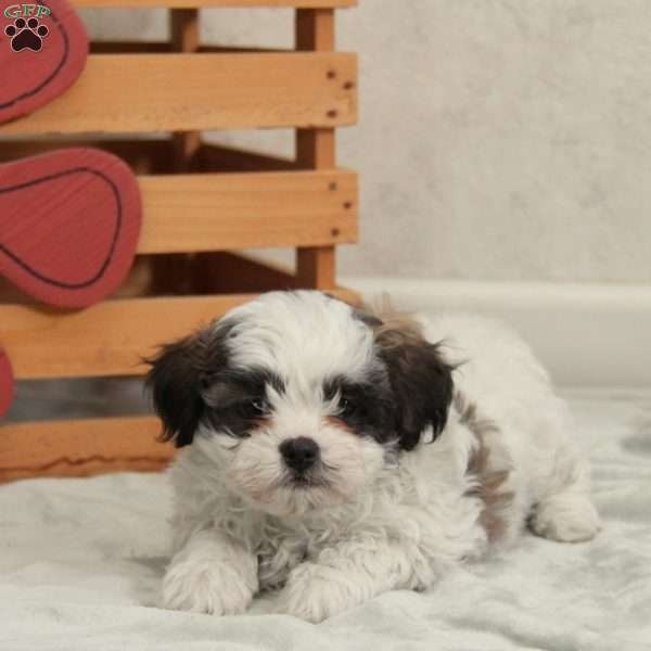 Sperry Teddy Bear Puppy For Sale In Pennsylvania