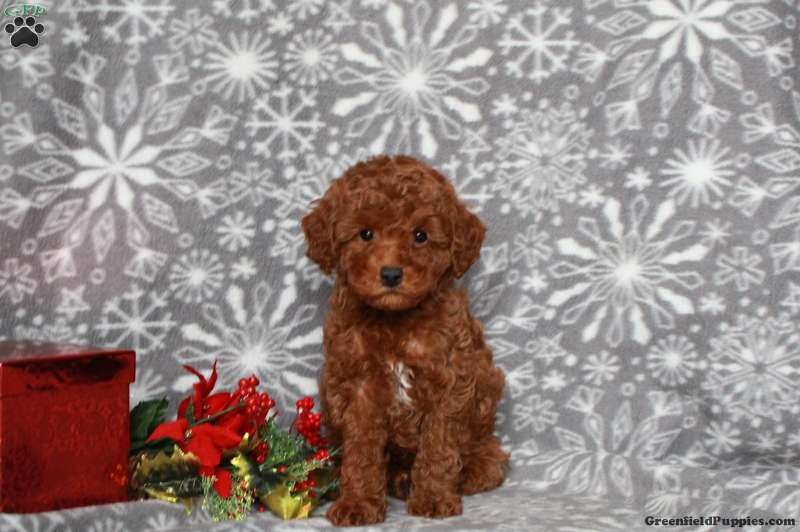 Teddy Miniature Poodle Puppy For Sale In Pennsylvania