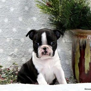 Boston Terrier Puppies For