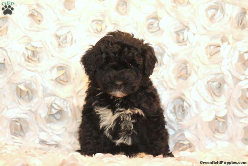 Tyrel Miniature Poodle Mix Puppy For Sale In Pennsylvania