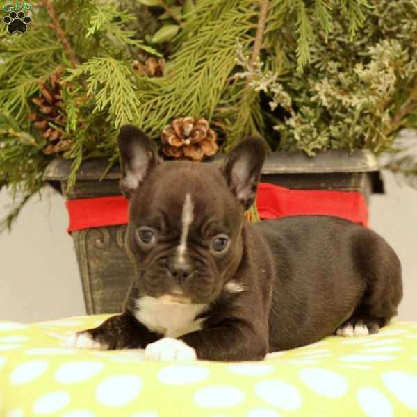 Wiley, Frenchton Puppy