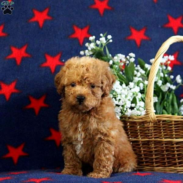 Wren, Toy Poodle Puppy