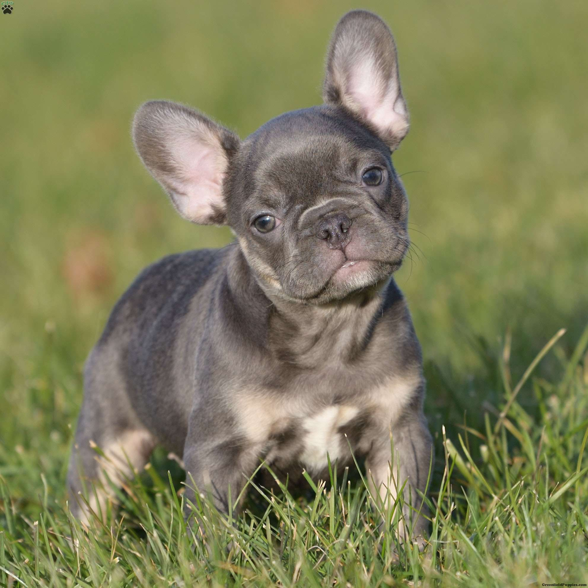 French Bulldog Puppies For Sale Frenchie Puppies