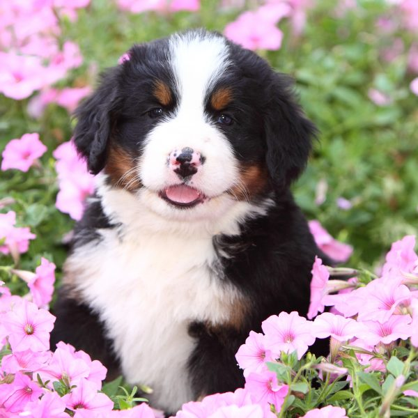 bernese mountain dog puppy sitting in a patch of pink flowers