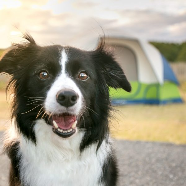 border collie with tent in the background