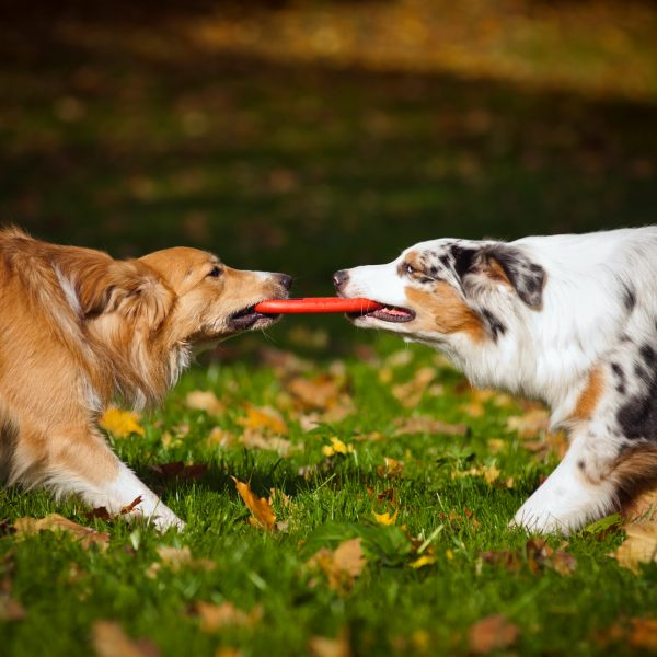 golden retriever and australian shepherd playing with a frisbee