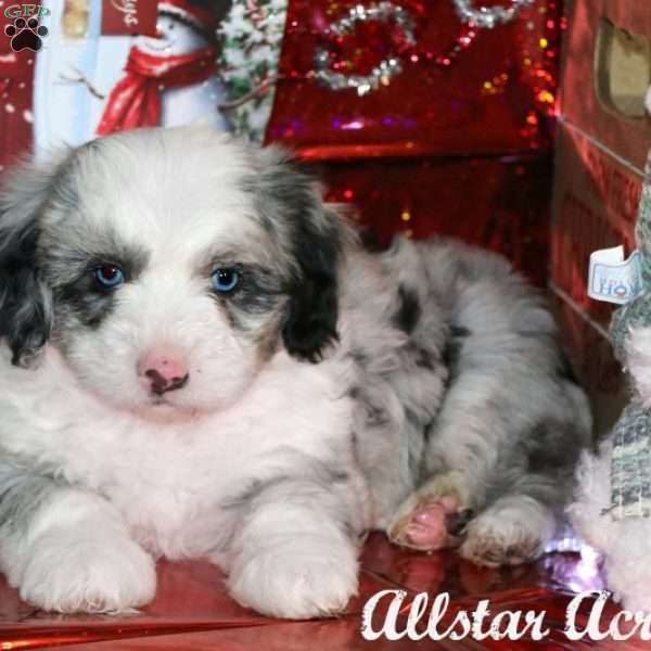 Klaus Miniature Sheepadoodle Puppy For Sale In Pennsylvania