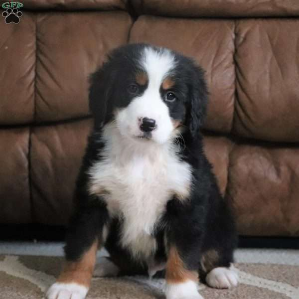 Max Bernese Mountain Dog Puppy For Sale In Ohio