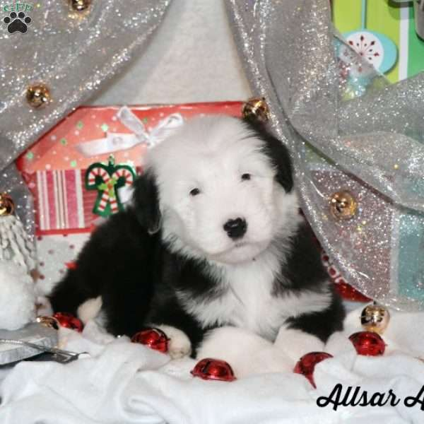 Sheepadoodle Puppies For Sale Greenfield Puppies