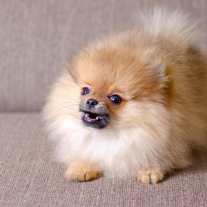 small pomeranian puppy sitting on a couch and barking