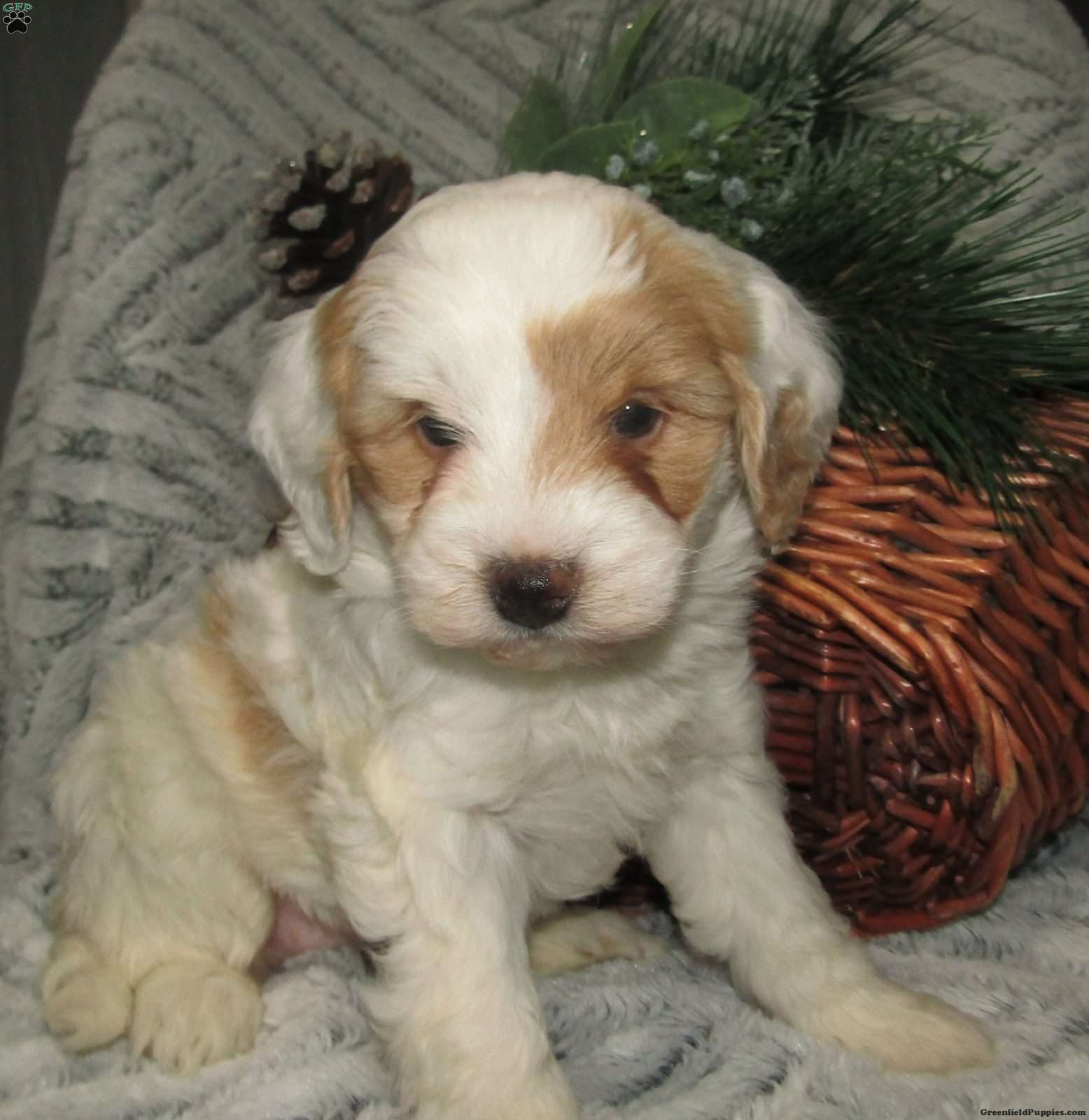 Daisy F1b Mini Bernedoodle Puppy For Sale In Ohio