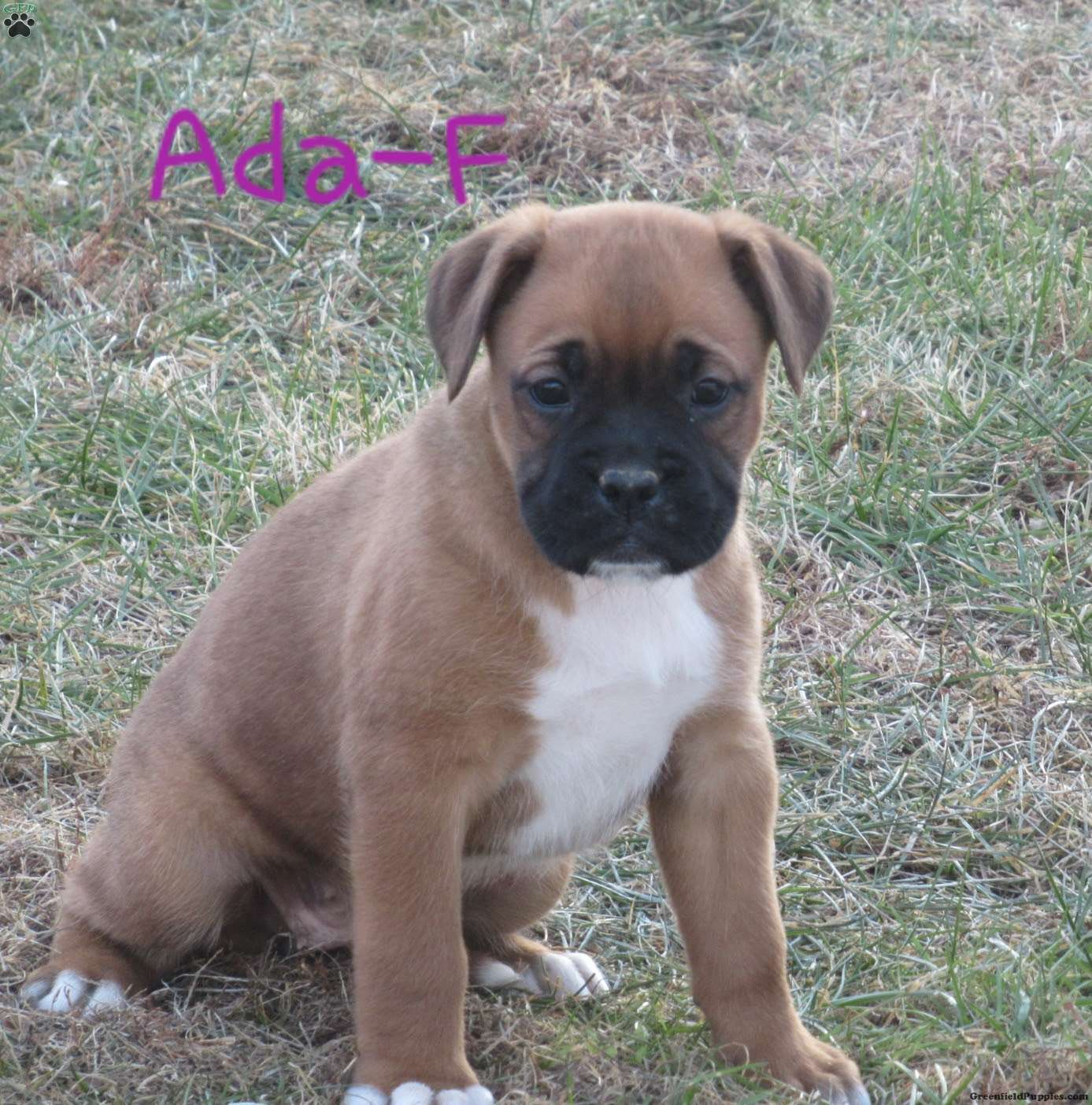 Ada Boxer Mix Puppy For Sale In Pennsylvania