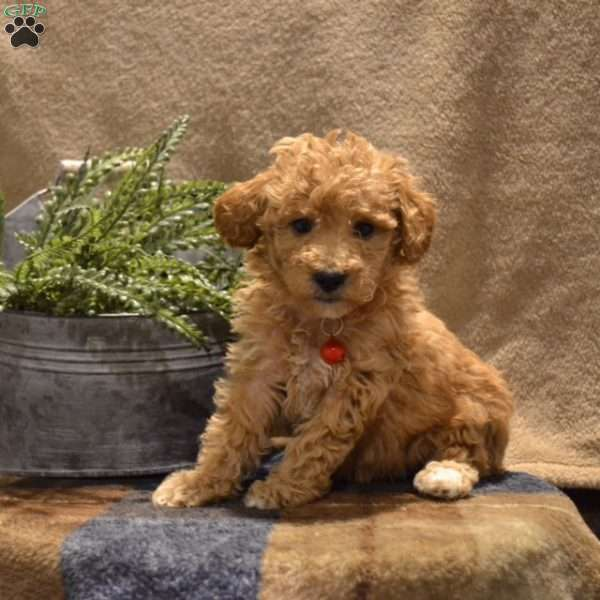 Aubrey Miniature Poodle Puppy For Sale In Pennsylvania